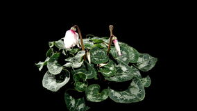 Flowering white cyclamen on the black background stock footage