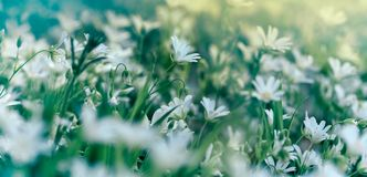 Flowering white flower in meadow - flowering in spring Stock Photos