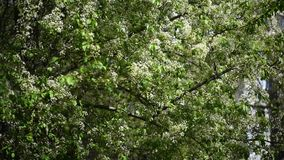 White flowering trees with green leaves in spring. Flowering white flowers fruit trees in the spring stock video