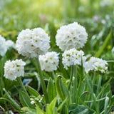Flowering white flowers in the Park. Evening primrose flowers. Beautiful white primrose Stock Photos