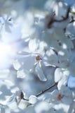 Flowering white magnolia Royalty Free Stock Image
