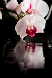 Flowering white orchid with water reflection Stock Photos
