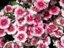 Flowering White and Pink Sweet William Flowers in Bloom stock photo