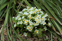 Flowering white primula Royalty Free Stock Photography