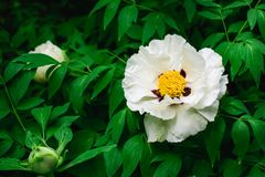 Flowering of a tree-like peony. Paeonia suffruticosa. Flowering of a white tree-like peony. Paeonia suffruticosa. Flower and buds Royalty Free Stock Images