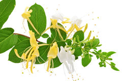 Flowering white-yellow Honeysuckle(Woodbine).Isolated Stock Images