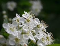 Flowering whitethorn Stock Images