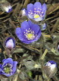 Flowering wild Anemone hepatica Royalty Free Stock Photography