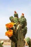 Flowering wild cactus. In africa Stock Photo