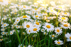 Flowering wild chamomile flowers on field in sunny day Royalty Free Stock Photo