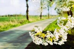 Flowering wild cherry stock images