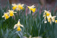 Flowering wild daffodils Narcissus pseudonarcissus pseudonarcis Royalty Free Stock Photography