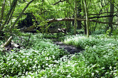 Flowering wild garlic in the woods Stock Photography
