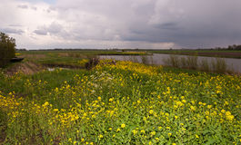 Flowering Wild Mustard and Cow Parsley. Landscape in springtime with a curved river and flowering Field Mustard (Sinapis arvensis) and Wild Chervil (Anthriscus Royalty Free Stock Image