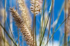 Flowering wild ornamental grass Stock Images