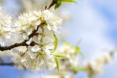 Flowering Wild Plum stock photo
