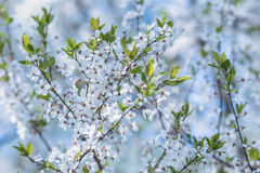 Flowering wild plum tree Stock Photos