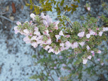Flowering Wild Rosemary Florida Native Plant. Wild rosemary flowers are attractive to bees and other pollinators. This one is at Camp Helen State Park, Florida Stock Image
