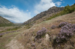 Flowering Wild thyme field. In Central Otago, South Island, New Zealand royalty free stock photo