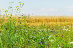 Flowering wildflowers and Motley grass in sunny summer day, growing along roadsides of rye field. Rural background Royalty Free Stock Image