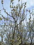Flowering willow against the sky stock image