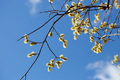 Flowering willow on blue sky background Royalty Free Stock Photos