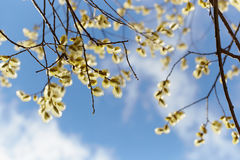 Flowering willow on blue sky background Royalty Free Stock Images