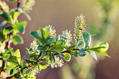Flowering willow branch Royalty Free Stock Photography