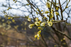 Flowering willow branch. Against the background of the forest Royalty Free Stock Photography