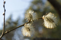 Flowering willow. In the forest Stock Images