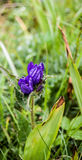 Flowering willow gentian plants Royalty Free Stock Images