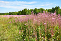 Flowering of willow-herb plant on meadow Royalty Free Stock Photo