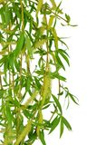Flowering willow and spring foliage. Close-up. Isolated without. Twigs of willow blossoming, close-up. Isolated on white background without shadow. Flowering stock photography