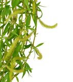 Flowering willow and spring foliage. Close-up. Isolated without royalty free stock image