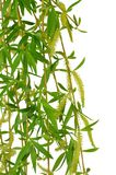 Flowering willow and spring foliage. Close-up. Isolated without stock photo