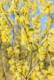Flowering willow Stock Image