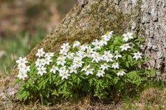 Flowering windflowers Royalty Free Stock Image