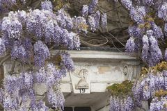 Flowering Wisteria Stock Images
