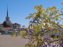 Flowering wisteria against building marine station. Branch of blooming wisteria against building sea port, resort Sochi, Russia Royalty Free Stock Photography