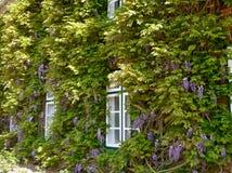 Flowering wisteria on a house facade. royalty free stock photos