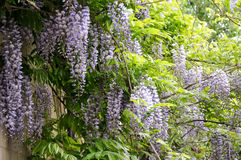 Flowering Wisteria Royalty Free Stock Images
