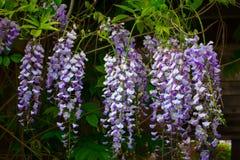 Flowering Wisteria. Ornamental Flowering Wisteria with Verdant Green Foliage Stock Photo