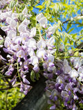 Flowering wisteria plant Royalty Free Stock Images