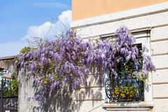 Flowering wisteria plant on window of urban house Stock Image
