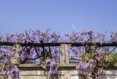 Flowering Wisteria plants on house wall background. Natural home decoration with flowers of Chinese Wisteria Stock Photos