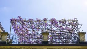 Flowering Wisteria plants on house wall background. Natural home decoration with flowers of Chinese Wisteria Royalty Free Stock Images