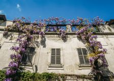 Flowering Wisteria plants on house wall background. Natural home decoration with flowers of Chinese Wisteria Royalty Free Stock Photos