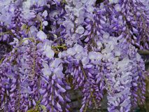 A flowering Wisteria Sinensis in spring Stock Photo
