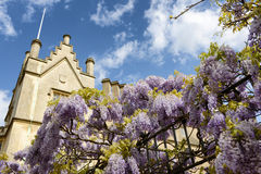 Flowering wisteria on a wrought iron fence Stock Photos