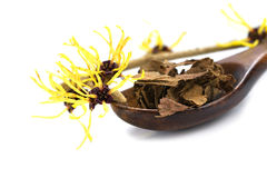 Flowering witch hazel (Hamamelis) and dried leaves for natural c Stock Photo